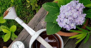 Hortensien pflanzen