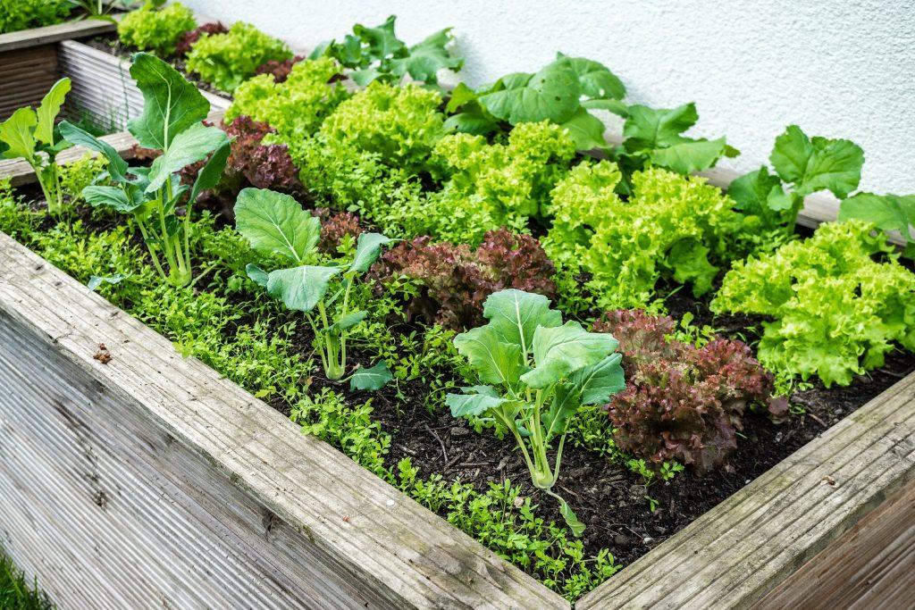 Sobald das erste Gemüse erntebereit ist, wird der Gärtner für seine Mühen belohnt. (#03)
