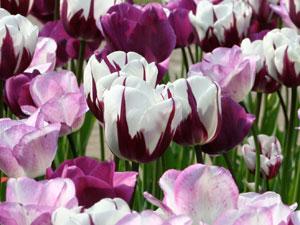 Tulpe Shirley eignet sich sehr gut zum Verwildern.