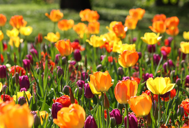 Auch Tulpenzwiebeln lassen sich verwildern. Hier können Sie lesen, was zu tun ist, damit Sie von Ihren Tulpen mehr haben, als nur ein Jahr.