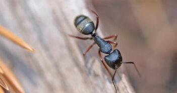 Fliegende Ameisen in Haus und Garten bekämpfen!