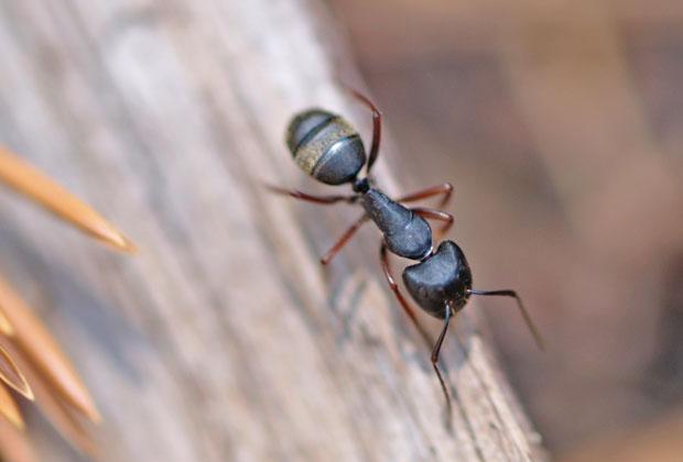 Fabulous Fliegende Ameisen in Haus und Garten bekämpfen IR74