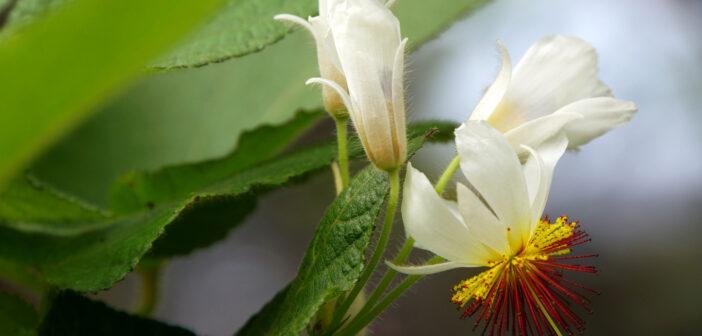 Kapländische Zimmerlinde: Eine der prächtigsten Zimmerpflanzen