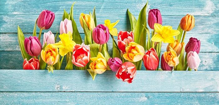 Tulpen nicht nur ein Frühlingsgruß