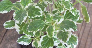 Weihrauch eine Pflanze die man vielseitig verwenden kann