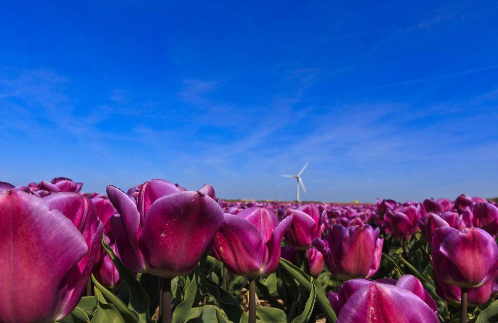 Eine wunderschön farbige Tulpe, ein Augenschmaus