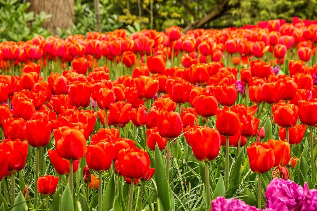 Ein rotes Blumenmeer. Ein Augenorgasmuss