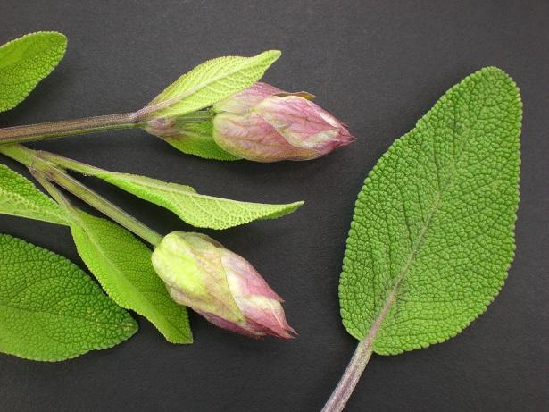 Pfirsich Salbei: Außergewöhnliche Pflanze für die Sinne.(#02)