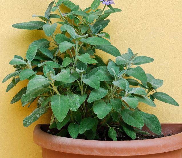 Kurz gesagt: Ja, Pfirsch-Salbei ist eine außergewöhnliche Pflanze, die Ihre Sinne betört.(#03)