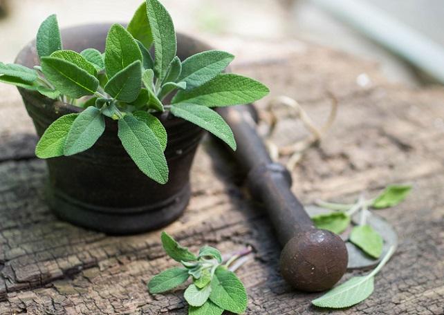Pfirsich-Salbei zeichnet sich also durch seine vielseitige Verwendung aus und bietet eine gute Alternative, wenn Basilikum und Schnittlauch oder andere Kräuter einmal fehlen sollten (#01)