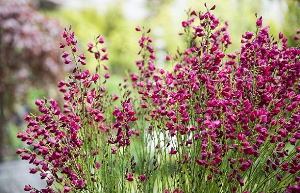 Ginster gibt es in den Blütenfarben: Gelb, Lila, Weiß, Orange, Rotbraun, Violett (#01)
