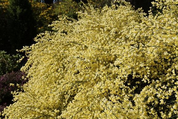 Wenn Sie den Pflanztopf nun noch an einen sonnigen Ort stellen, wird der Ginster auch im Blumentopf prächtig wachsen.