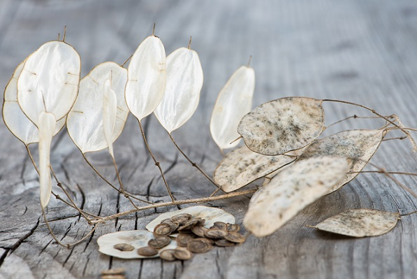 Silberblätter sind — wie schon zuvor angeschnitten — sehr tolerante Pflanzen und leicht zu pflegen