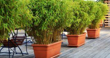 Bambus als Kübelpflanze: Was gilt es zu beachten?