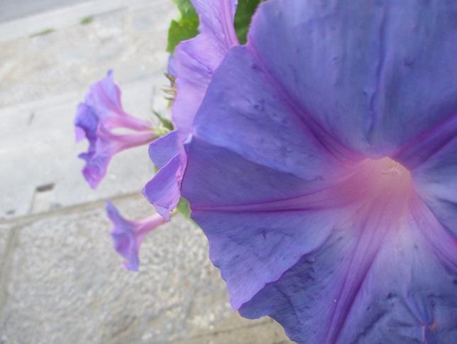 Die Balkonpflanzen Blaue Mauritius sind viel zu schön, um sie nach dem Sommer einfach wegzuwerfen. (#02)