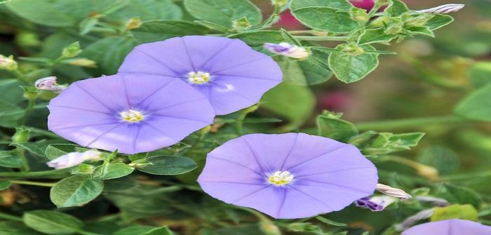 Balkonpflanzen: Blaue Mautitius, Pflegetipps und mehr!