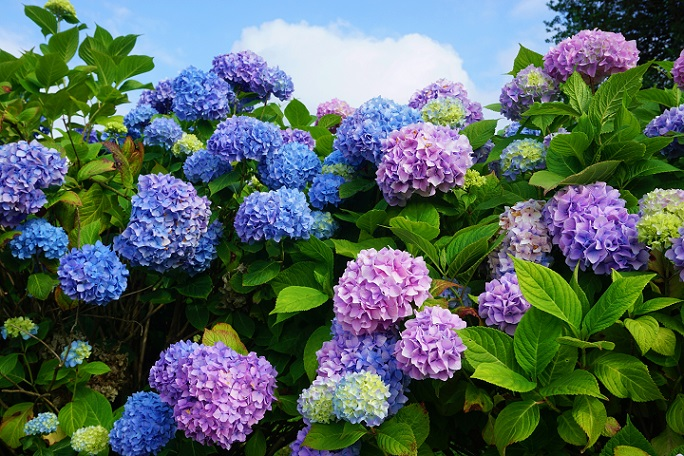 Schon eine einzelne Blüte wirkt ungeheuer schmückend, was nicht zuletzt der Farbe geschuldet ist. (#12)