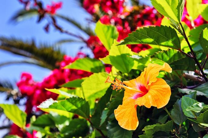 Geht es um schöne Blumen und tolle Ideen für eine Dekoration, darf der Hibiskus natürlich nicht fehlen. (#14)