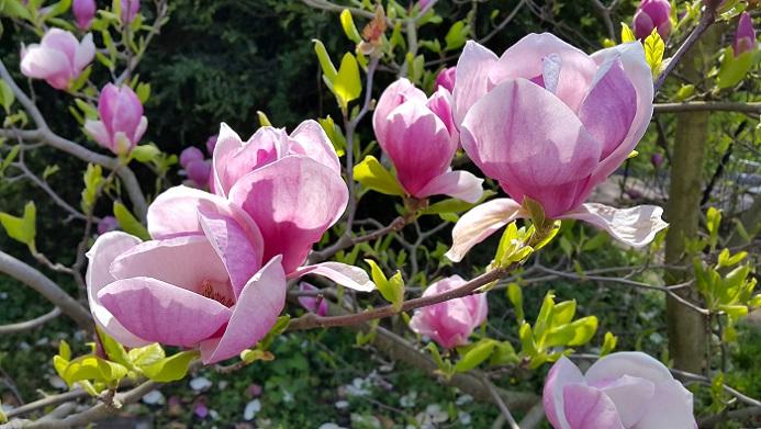 Den ganzen Sommer durch blüht die Magnolie mit ihren großen, festen und vollen Blüten. (#17)