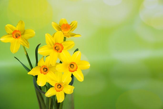 Osterglocken oder Narzissen, wie sie auch genannt werden, sind ein typischer Frühlingsbote, der als Strauß zur Osterzeit als perfekte Dekoration gilt. (#19)
