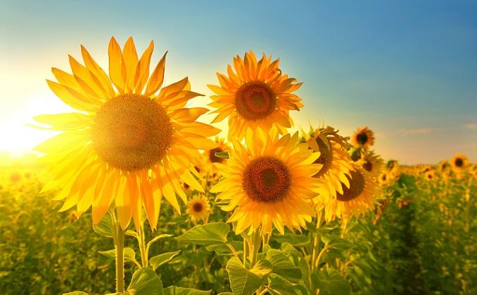 Das typische Bild von Sonnenblumen. (#02)