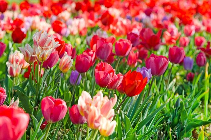 Tulpen drücken wie auch Schneeglöckchen den erwachenden Frühling aus. Sie sorgen für ein Gefühl von Lebensfreude, für die Vorfreude auf das neue Jahr und vor allem auf den Sommer. (#03)