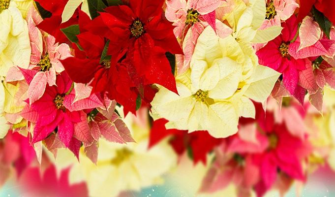 Rosa, rot und gelb – wie hier auf dem Bild zu sehen ist, kann der Weihnachtsstern in vielen verschiedenen Farben vorkommen. (#04)