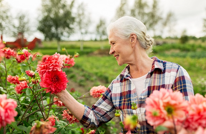 Dahlien sind die typischen Blumen eines Bauerngartens und erfreuen noch lange bis nach dem ersten Frost mit ihren großen und schweren Blüten in allen Farben. (#07)