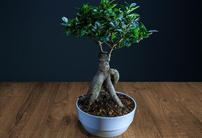 Der Ficus Ginseng hat eine hervorragende Schnittverträglichkeit, die dafür sorgt, dass er auch zu einem Bonsai geschnitten und somit in Form gebracht werden kann.(#01)