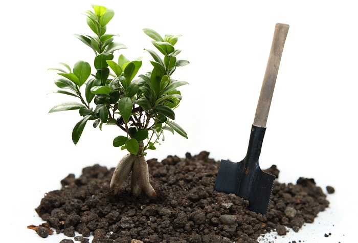 Damit die Pflanze aber generell ein gutes Wachstum hat und gesund aussieht, braucht es die richtige Pflege. Es ist ein wenig Aufwand, den Ficus Ginseng zu pflegen, doch wer erst einmal in dem Zyklus drin ist, der wir viel Erfolg mit der Aufzucht haben. (#02)