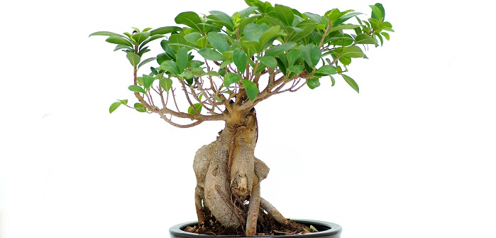 Ginseng Bonsai.