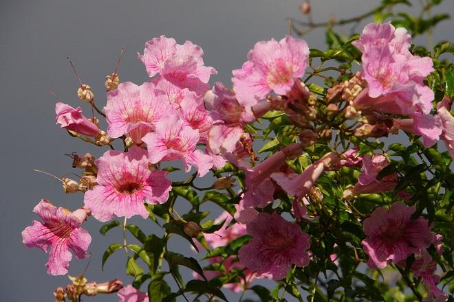 Die immergrüne Pflanze Rosa Trompetenwein kommt eigentlich eher aus Südafrika, ist inzwischen aber in mediterranen Gefilden zu finden. (#01)