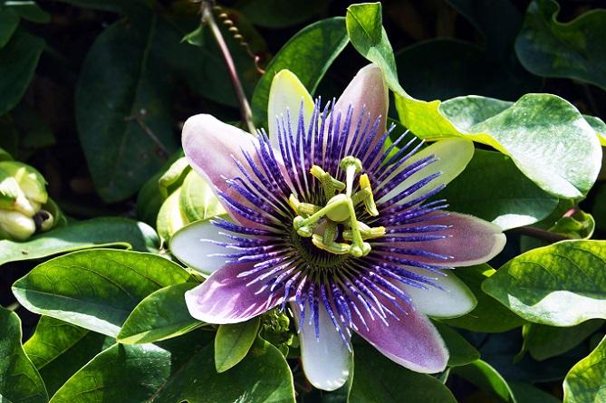 Die Passionsblume mag es sonnig und sie kann mit kalten Temperaturen nicht gut umgehen. (#02)