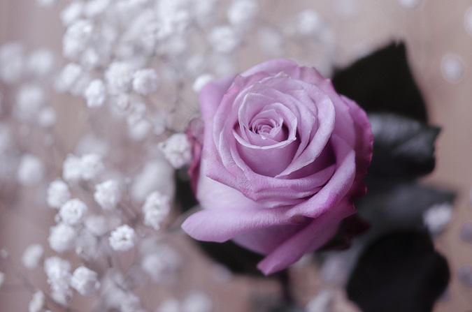 Wer die Rose vor sich hat, der wird jedoch eher von einem Lavendel oder einem Silberlila sprechen. (#01)