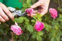 Rosenstock: Pflege der Blumen & mehr