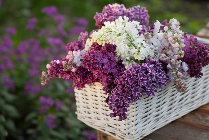 Der Flieder gehört zweifelsohne zu den bekanntesten und auch zu den beliebtesten Frühlingsblumen. In den meisten Fällen findet man ihn als Strauch im Garten, manchmal in einem hellen Lila und dann mal etwas dunkler. (#06)