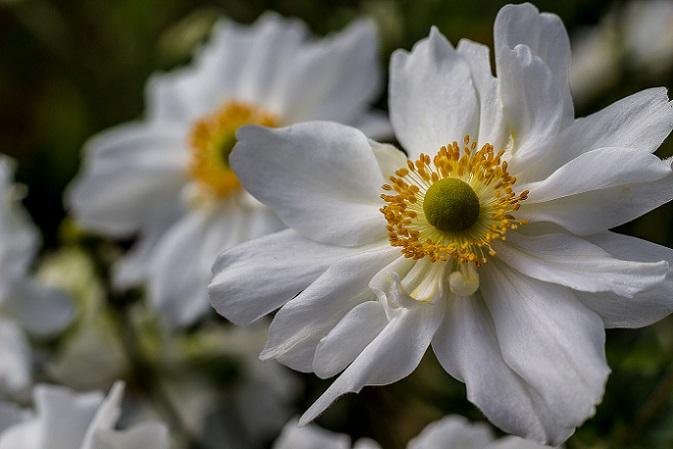Nicht ganz so bekannt wie Tulpen oder Rosen, aber mindesten genauso schön sind Garten-Anemonen. Ursprünglich kommen diese Frühlingsblumen aus dem Mittelmeerraum. Die Blüten blitzen in Rot, Rosa oder Violett im heimischen Garten. (#08)