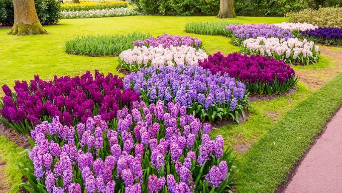 Die Hyazinthe zeichnet sich besonders durch ihren intensiven Duft aus, der für viele Menschen den Beginn des Frühlings einläutet. Ursprünglich aus dem Mittelmeerraum und aus Kleinasien, kamen die duftenden Frühlingsblumen bereits im 16. Jahrhundert zu uns nach Deutschland. (#10)