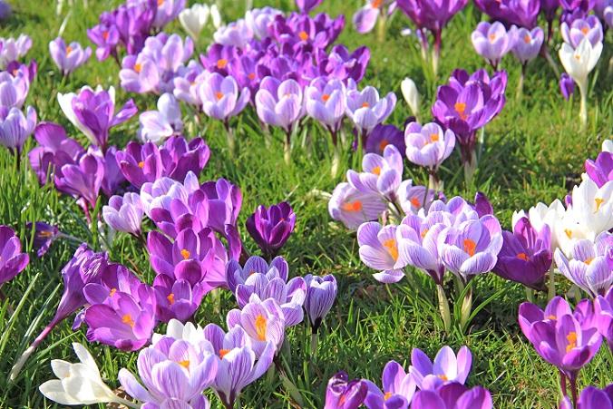 Jeder kennt ihn, jeder liebt ihn: Den Krokus findet man in Deutschland in fast jedem Garten. Er zählt zu den klassischen Frühjahrsblühern und kündigt nach den tristen Wintermonaten in vielen Gärten den Wechsel der Jahreszeiten an. (#09)