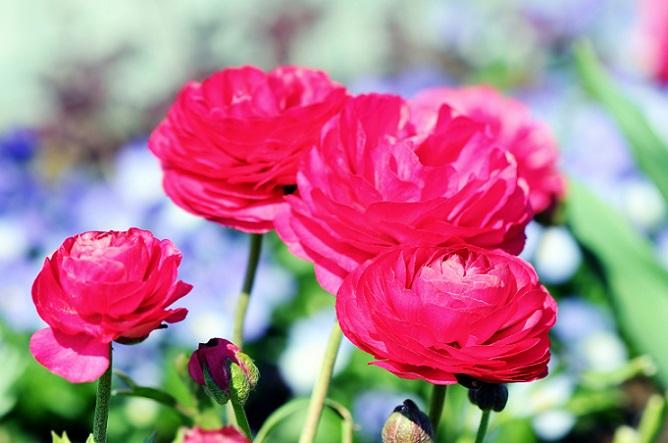 Oft werden Ranunkeln unterschätzt, aber tatsächlich bringen sie jeden Garten, Balkon oder Raum zum Leuchten. Diese Frühlingsblumen haben gefüllte Blüten, die in den verschiedensten Farben schillern. (#07)