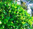 Kirschlorbeer: Sorten, Pflege & mehr