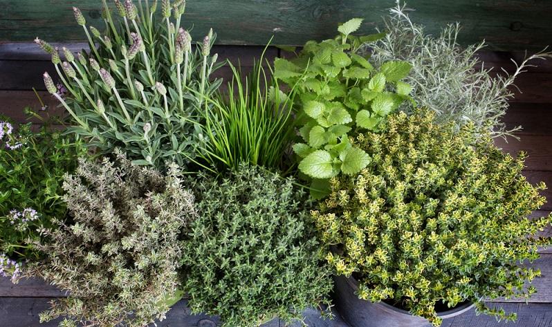 Inzwischen stehen den Verbrauchern zahlreiche frische und getrocknete Kräuter zur Verfügung. Besonders viel Freude bereitet es, wenn man sie im eigenen Garten erntet und gleich in die Gemüsepfanne oder ein anderes Gericht hineingibt. (#01)