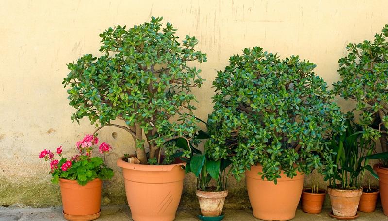 Ungefähr ab Ende Februar können die Pflanzen wieder aus ihrem Winterquartier ausziehen. (#03)