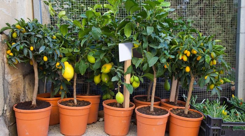 Pflanzen wie Oleander oder Zitronenbäume reagieren leicht mit einem Sonnenbrand auf die intensive Sonne des Frühjahrs. (#01)