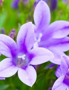 Glockenblume: Standort, Pflege und Variationen