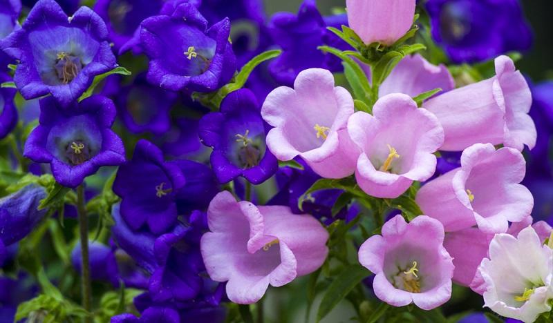 Im Winter sollten die Glockenblumen, die als Zimmerpflanzen gehalten werden, vom Balkon ins Haus umziehen und das spätestens im September. (#02)