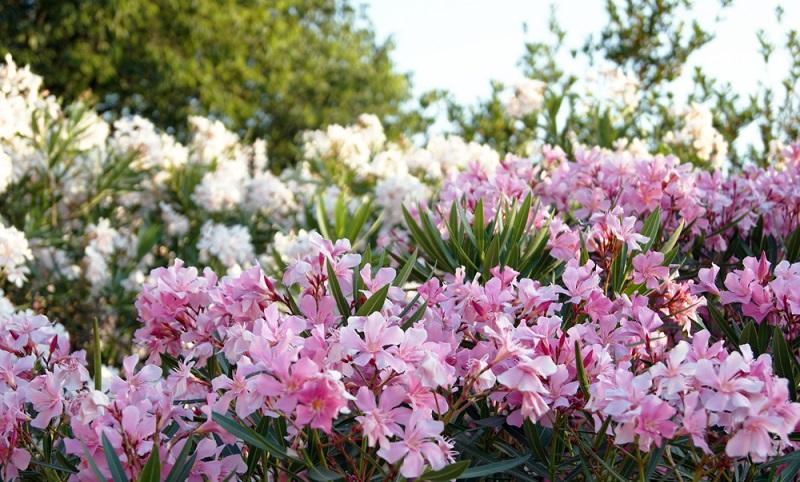 Ein Oleander ist perfekt, um sich ein wenig südländisches Flair in den eigenen Garten zu zaubern. Doch was muss man beim Pflanzen und der Pflege beachten? (#01)