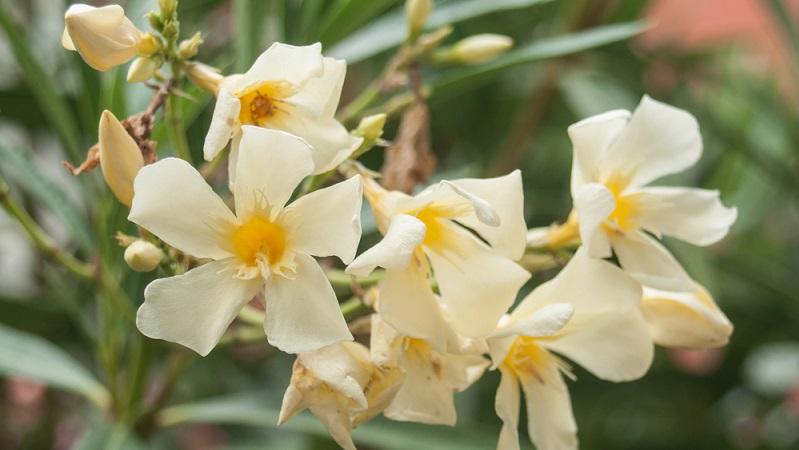 So schön ein Oleander im heimischen Garten auch ist, ganz ungefährlich ist er leider nicht, denn er ist hochgiftig. (#03)