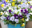 Stiefmütterchen: Pflanzen, Standort und Blütezeit