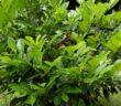 Portugiesische Lorbeerkirsche: Schnitt Kirschlorbeer